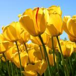 Paar gelbe Tulpen